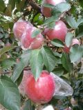 Export frischer Stern Apple FUJI-/Red