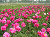 Fleur coupée fraîche de pivoine herbacée de la Chine