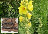 100% natürliches Figwort-Wurzel-Auszug-4:1-5:1-10:1