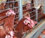 Высокое качество птицы яйцо куриное слоя каркаса для продажи