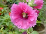 ハイビスカスの花のエキスのRoselleのエキスのアントシアニジン5%-25%