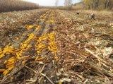 Condicionador do solo de Unigrow no milho