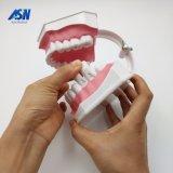 Démonstration dentaire de brossage Hesperus de structure de dents
