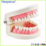 Modèle dentaire de dent de soins de santé oraux de prix bas
