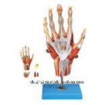 Het Model van het onderwijs, x-y-10001 Spieren van Mannetje met Interne Organen (85cm)