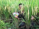 [أونيغروو] [أرغنيك فرتيليسر] [بيو] على أرزّ يزرع