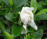 Extrait de Gardenia poudre SAE n° : 6902-77-8/poudre Genipin