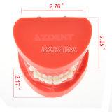 Het tand Model van de Tanden van het Onderwijs Orthodontische Tand met Ce