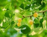 Extrato de Ginkgo Biloba para alimentos e nutracêuticos