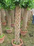 Formato differente di figura della gabbia del Ficus