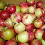 Neue Ernte-gute Qualität von frischem Qinguan Apple