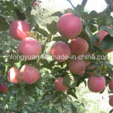 Origen china fresca Qinguan de Apple