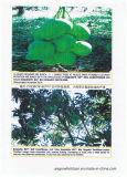 Unigrow Schmutz-Signalformer für das Mangofrucht-Pflanzen