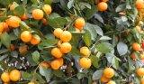Orange-Saft-Konzentrat-Puder