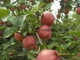 2017 estrella roja fresca Apple con alta calidad