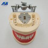 Denti dentali che insegnano al tipo molle di modello del Gingiva 200h smontabile per l'allievo del dentista