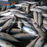 바다에 의하여 물고기 태평양 어는 고등어