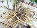 Природные Валериу кислоты 0.3~0.8%;&Nbsp;4 - 1; 5 - 1 Valeriana Officinalis