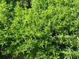 化学薬品のための自然な無農薬食品の付加的にSteviaの砂糖Rebaudioside a