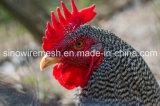 농장 치킨 와이어가 Sailin에 의하여 직류 전기를 통했다