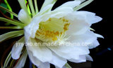 10:1 normal pur d'extrait d'Epiphyllum Flowder, 20:1