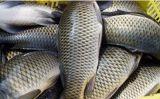 مصنع إمداد تموين سمكة يخرج آلة مع [س]