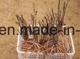 Arborescence Arborescence racine / Pivoine de semis de pivoines