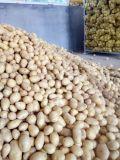 Frische 100-150g Holland Kartoffel