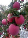 Unigrow fertilizante orgânico microbiana no plantio da Apple
