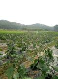 Régulateur de croissance de plantes d'Unigrow sur toute plantation végétale