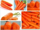 Zanahoria china fresca que exporta la zanahoria