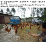 O bacilo Laterosporus tratou na criação de animais da galinha