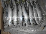 전체적인 Fround Frozen Sardine Fish (Sardinella aurita)