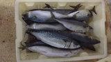 6-8 equipos/Kg de pescado congelado caballa