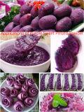 100% naturel sous forme déshydratée ensemble de la poudre de patate douce violet