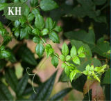 Extracto de chá de videira de alta qualidade Diidromirricetina para suplemento nutricional