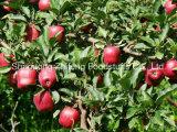 2016 Best-Selling Verse Appel