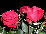 Flos Rosae Rugosae Exrtract Rose extracto das Flores