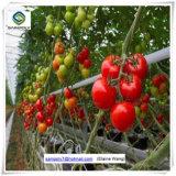 トマトのための商業プラスチック小屋の温室