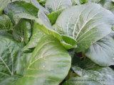 Unigrow Pflanzenwachstum-Regler auf irgendeinem Gemüsepflanzen