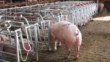 Стойло оборудования свиньи порося для хавроньи и поросенка в 2017