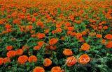 Zeaxanthin 5%, 20%, extrato da flor do Marigold de 40%