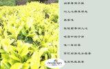 Gelbe Tees --Seltene und geschätzte Tees nur von unserem Bereich