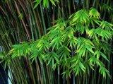 Flavones 20%-60%Bambusa 심상성 추출