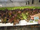 Regulador de crescimento da planta de Unigrow na plantação vegetal Foliar