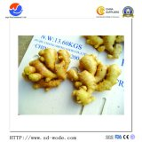 Le gingembre frais/gingembre/gingembre/Globalgap Air-Dried Gingembre certifié