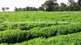 Травяной извлечения дополнительного сырья Stevia
