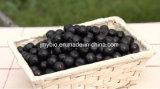 100% puro natural preto Chokeberry extrair antocianidinas 1% a 25%
