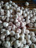 Aglio di Jinxiang/aglio fresco 5.0cm 6.0cm