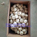新しい穀物の新しく正常で白いニンニク